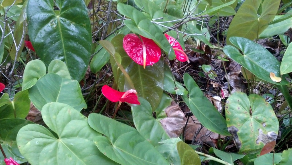 Anthuriums From The Big Island