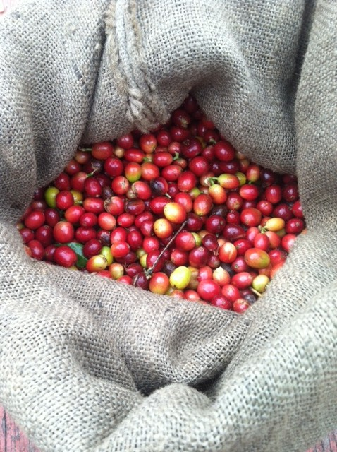 Ripe Kona Coffee berries