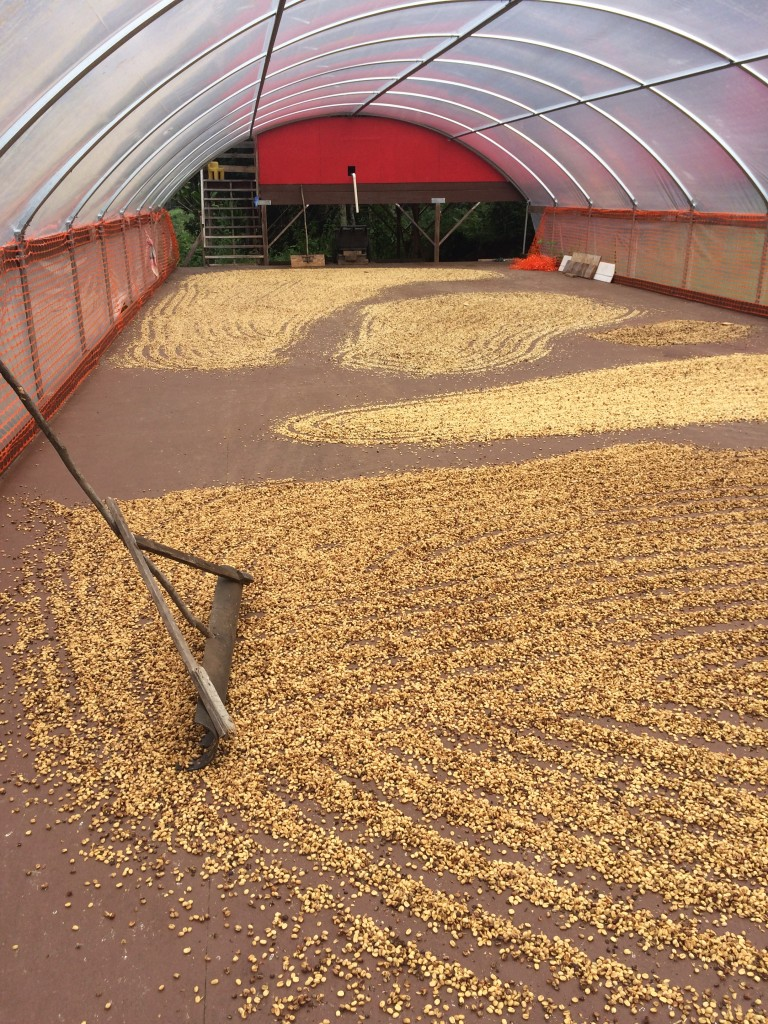 Parchement drying on deck ready to be milled to green coffee.