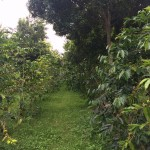 Kona Rose Coffee Trees